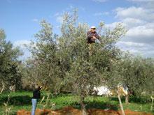 raccolta_olive Bisignano: Muore raccogliendo le olive