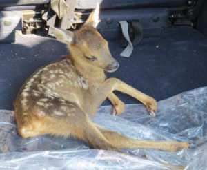 capriolo-300x246 Salvato cucciolo di capriolo finito in strada