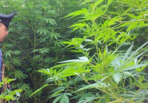 piantagione-erba-marijuana