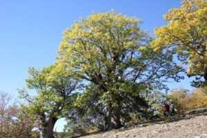 Scoperta quercia era glaciale in parco aspromonte