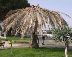 palme Punteruolo rosso arriva nella valle del Crati