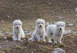 maremmani_tre_cuccioli_talba_flickr-300x206 Randagi, spesso ci sono cuccioli