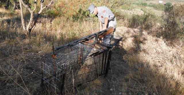 trappola-cinghiali-selvatic Caccia ai cinghiali e fauna selvatica con trappole vietate, due denunce a Bisignano