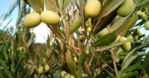 olive-olio-ulivo-ulivi Bisignano è piena d'oro